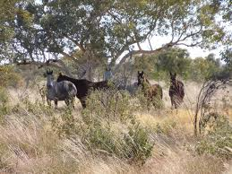 Brumbies In The Bush