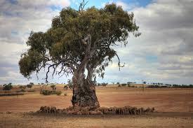 Paddock trees 2