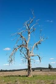 Paddock trees 4