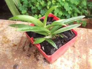 Ravine orchid 3