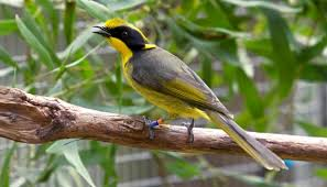 Helmeted Honeyeater, Victoria's critically endangered bird emblem
